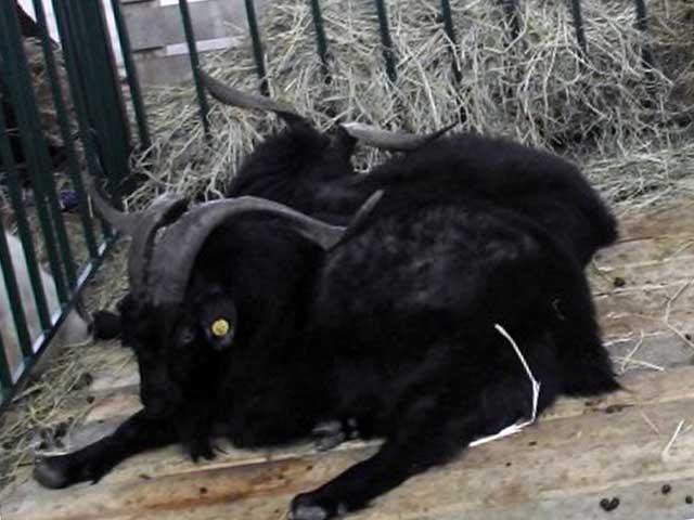 Черный оренбургский козел