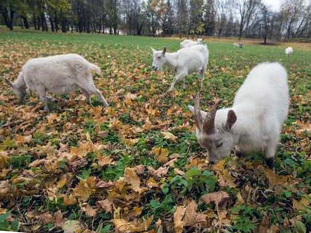 Выпасать коз в дождь