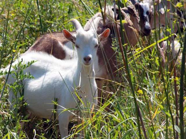 Пастбище для коз