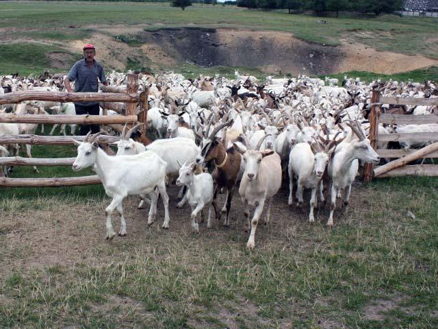 пастьба коз в загонах