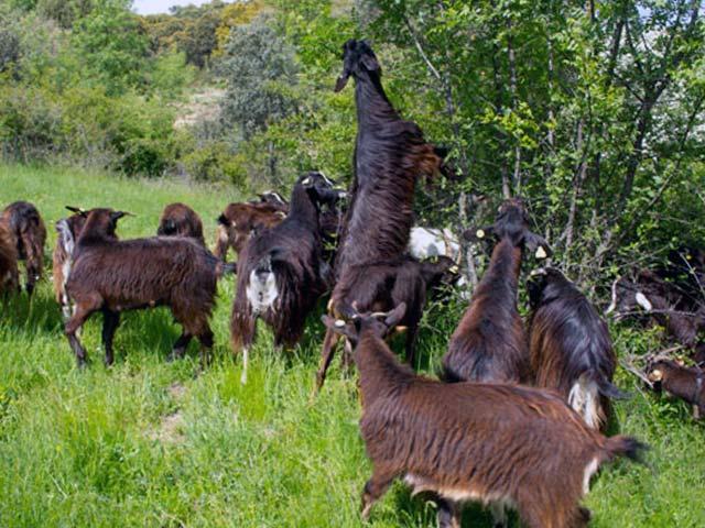 Выпас в лесу коз