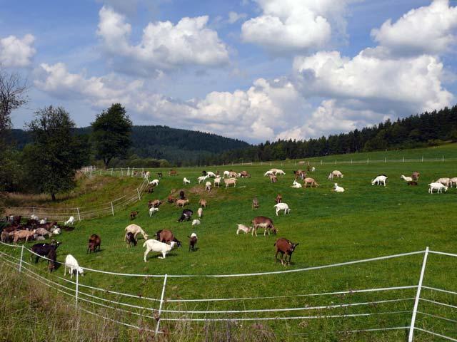 Выпас коз на пастбище