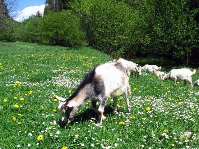 Пастьба коз весной