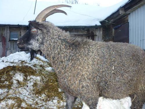 придонская породы коз