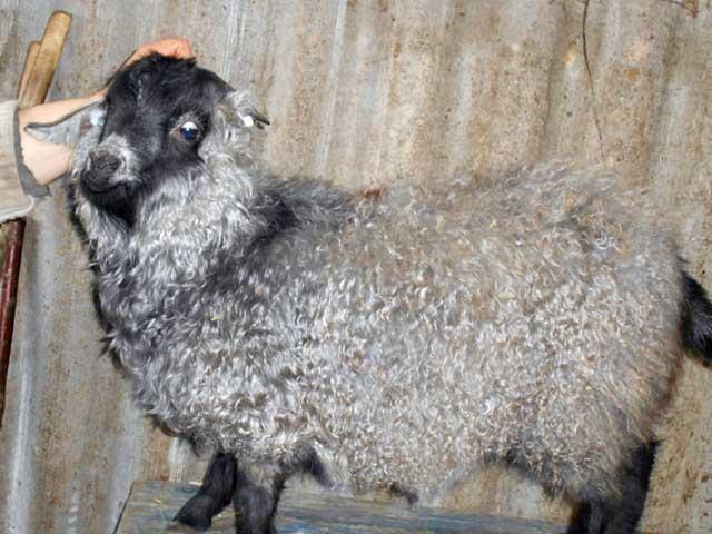 Пуховая порода коз