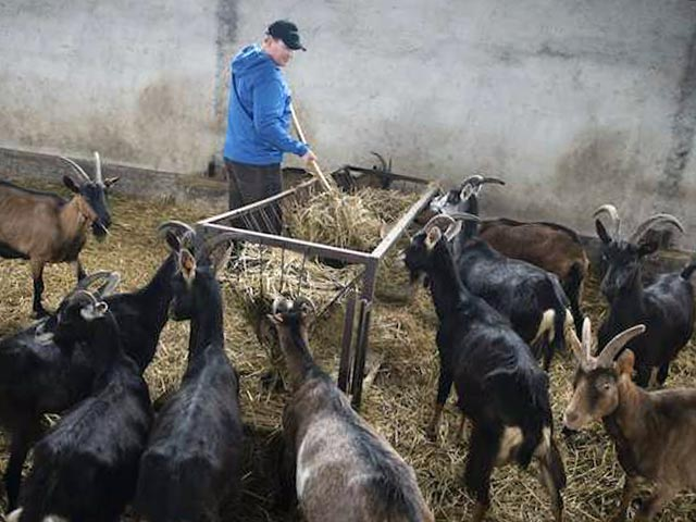 Групповое содержание коз