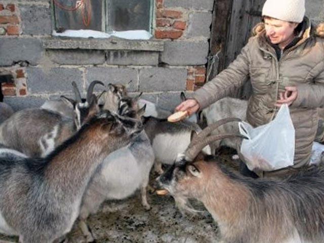 Содержание коз в домашних условиях