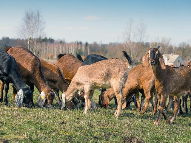 Пастбищное разведение коз