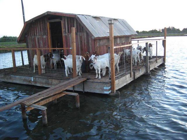 Козы в сарае на воде