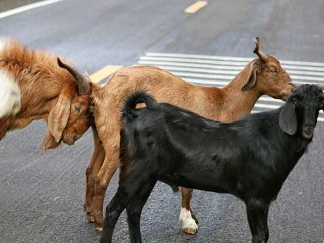 Определение охоты у козы
