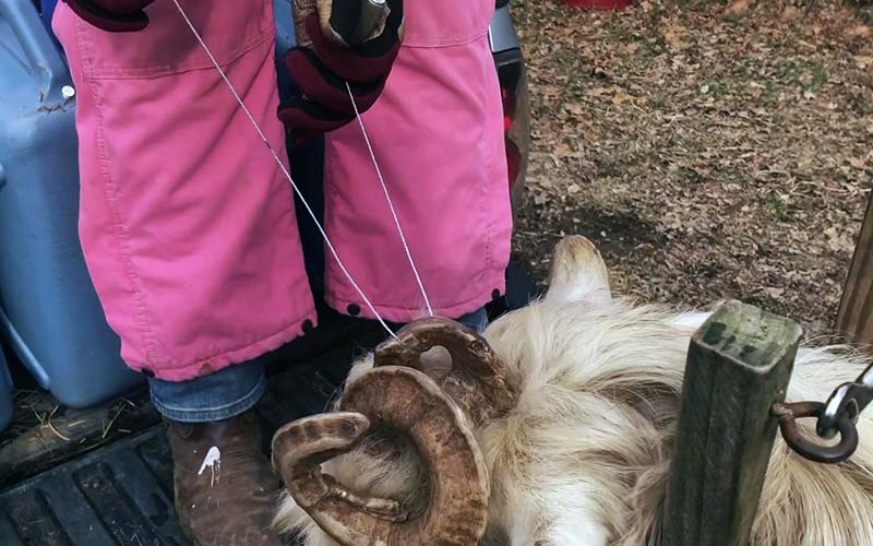 Удаление рога у козла